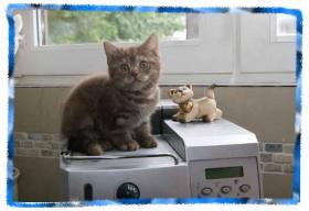 Zauberhafte BKH Kitten
