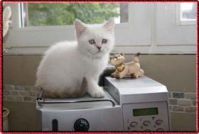 Foto 2 Zauberhafte BKH Kitten