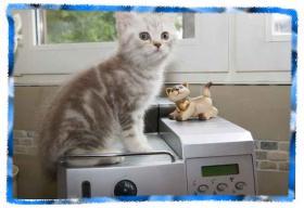 Foto 3 Zauberhafte BKH Kitten
