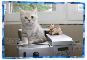 Foto 4 Zauberhafte BKH Kitten