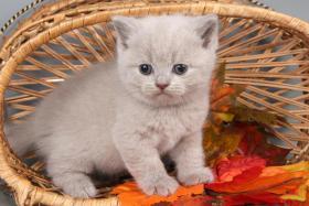Zauberhafte BKH-Kitten in schwarz-silber-gestromt und getupft