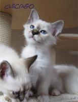 ***Zauberhafte Heilige Birma Kitten***