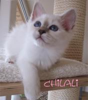 Foto 2 ***Zauberhafte Heilige Birma Kitten***