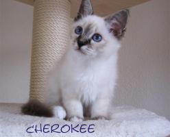 Foto 3 ***Zauberhafte Heilige Birma Kitten***