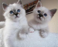 Foto 4 ***Zauberhafte Heilige Birma Kitten***