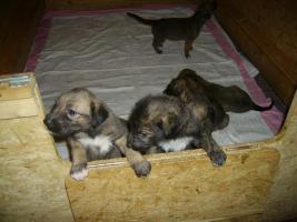 Foto 4 Zauberhafte Irish-Wolfhound-Welpen