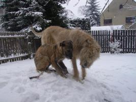 Foto 6 Zauberhafte Irish-Wolfhound-Welpen