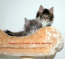 Zauberhafte Maine Coon Kitten