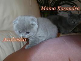 Foto 2 Zauberhafte Scottish Fold und BKH Kitten mit Pap.