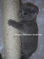 Foto 3 Zauberhafte Scottish Fold und BKH Kitten mit Pap.