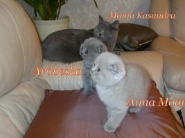 Foto 5 Zauberhafte Scottish Fold und BKH Kitten mit Pap.