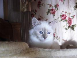 Foto 4 Zauberhafte hl. Birma - Kitten