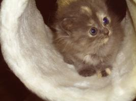 Foto 6 Zauberhafte seltene Ragamuffinkitten