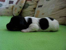Zauberhafte, reinrassige Mini Chihuahua Welpen