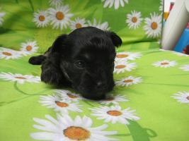 Foto 3 Zauberhafte, reinrassige Mini Chihuahua Welpen