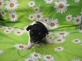 Foto 4 Zauberhafte, reinrassige Mini Chihuahua Welpen