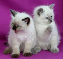 Zauberhafte, verschmuste Ragdoll Kätzchen suchen ein liebevolles zuHause