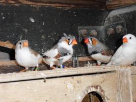 Foto 5 Zebrafinken in allen Farben abzugeben
