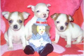 Zeer typisch Chihuahua baby's met stamboom