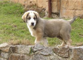 Zentralasiatischen Shepherd Welpen