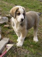 Foto 3 Zentralasiatischen Shepherd Welpen