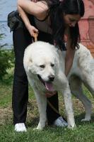 Foto 2 Zentralasiatischer Owtscharka Welpen