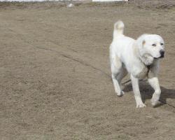 Foto 3 Zentralasiatischer Owtscharka Welpen