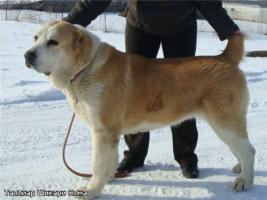 Foto 4 Zentralasiatischer ovtcharka
