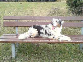 Foto 5 Zoe bekommt Ende Februar mind. 7 reinrassige Australian Shepherd Babies!!!