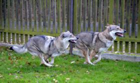 Foto 2 Zu vergeben Welpen Tschechoslowakischer Wolfshund mit Papiere
