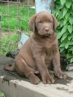Zu verkaufen 2 Rüden Labrador Retriever in Farbe schokolade