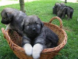 Foto 3 Zu verkaufen Karst-Schäferhundwelpen/Karst Shepherd