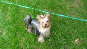 Zu verkaufen Welpen Yorkshire Terrier und Border Collie