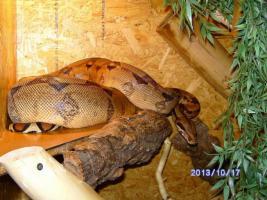 Zuchpärchen Boa Constrictor aus 06