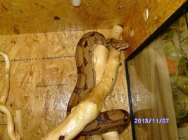 Foto 2 Zuchpärchen Boa Constrictor aus 06