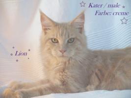 Foto 2 Zuchtaufgabe!!!!!!!!! Maine Coon Kitten
