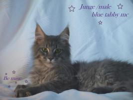 Foto 3 Zuchtaufgabe!!!!!!!!! Maine Coon Kitten
