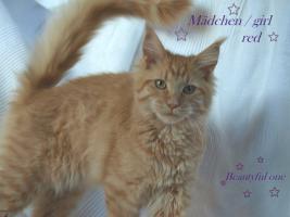 Foto 4 Zuchtaufgabe!!!!!!!!! Maine Coon Kitten