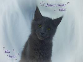 Foto 6 Zuchtaufgabe!!!!!!!!! Maine Coon Kitten