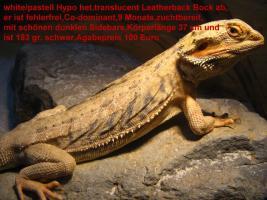 Zuchtböcke adult Leatherback und USA Import