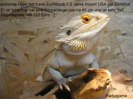 Foto 2 Zuchtböcke adult Leatherback und USA Import