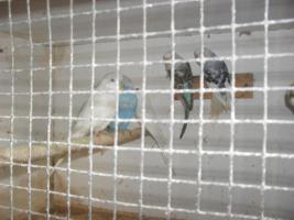 Zuchtboxen  Wellensittiche und kanarienvögel
