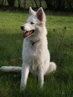 Zuchtprojekt! F2-Generation Rückzüchtung Weißer Schäferhund