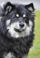 Foto 2 Zuchtrüde Lapphund Rasse zur Deckung