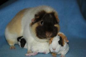 Zuchtverkleinerung US-Teddy Meerschweinchen