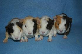 Foto 2 Zuchtverkleinerung US-Teddy Meerschweinchen