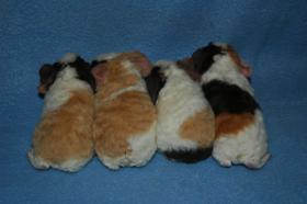 Foto 3 Zuchtverkleinerung US-Teddy Meerschweinchen