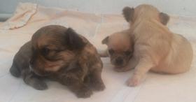 Foto 4 Zucker Süße Micro kleine Chihuahua Welpen von MiniWuffi...