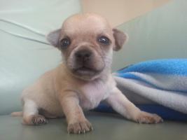 Foto 6 Zucker Süße Micro kleine Chihuahua Welpen von MiniWuffi...