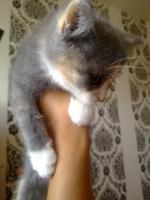 Foto 2 Zuckersüße Angora-Mix Kätzchen 8 Wochen alt